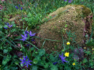 camas and buttercup by moss covered rock